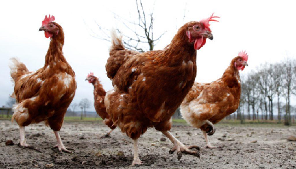 Kippen weer naar buiten